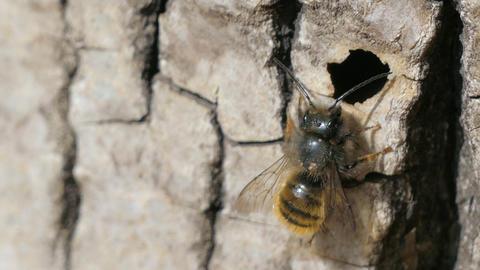 Macro Shot Wild Bee Osmia Bicornis Footage