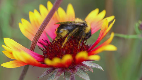 Bumblebee on a flower Gaillardia Footage