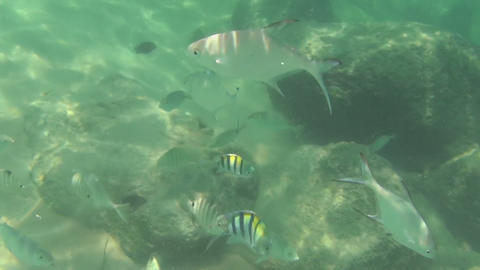 Tropical fish eat banana slices Footage