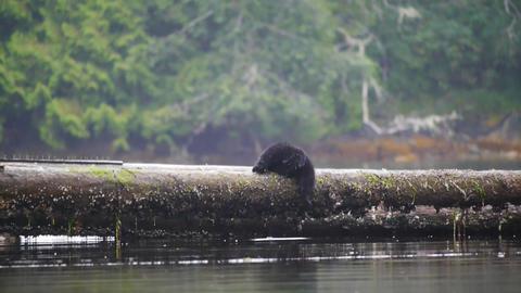 Cute Black Bear cub balancing on a log in the rain Footage