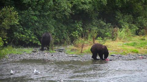 Alaskan brown bears (grizzly bear) fishing for Sockeye salmon at Fish Creek near Live Action