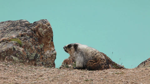 A Hoary Marmot feeding near Peyto Lake in Banff National... Stock Video Footage