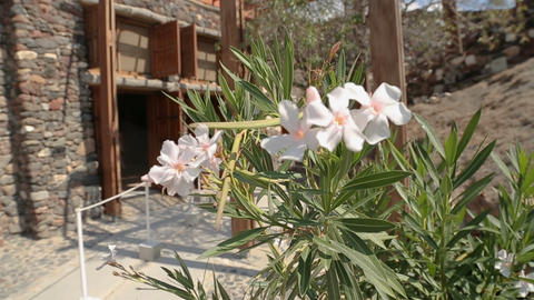 Main entrance to excavated Akrotiri settlement, plant blooming near entrance Live Action