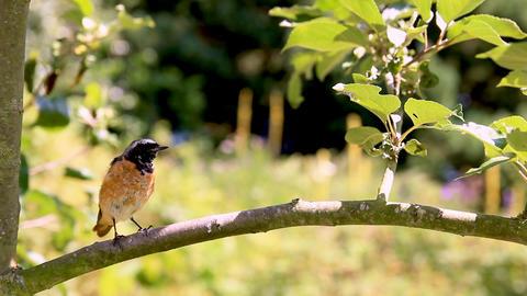 Redstart Bird on a Branch Footage