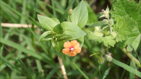 Small wild orange flower waving in the wind Footage