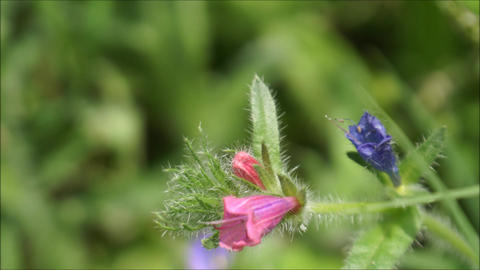 Pink and blue wild flowers waving in the wind with blurry background Footage