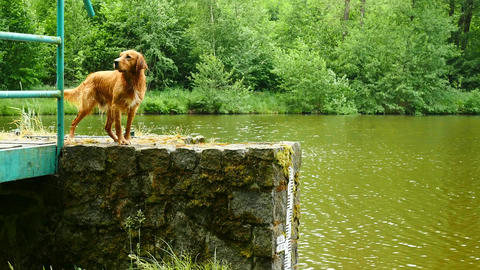 Young golden retriever swim in country pond. Happy dog swimming with branch in Live Action