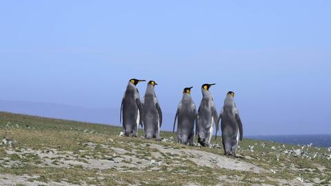 King Penguins at Falkland Island Footage
