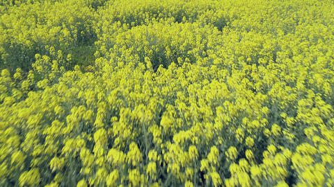 Rapeseed field in bloom Footage