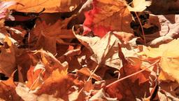 Autumn Leaves 1 Falls on Ground Footage
