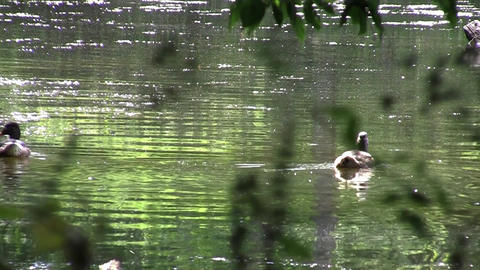 Group of ducks floating on the green water seen through the branches of a tree o Footage