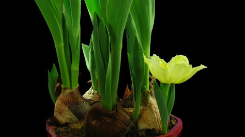 Time-lapse opening yellow tulip in RGB + ALPHA matte format Footage
