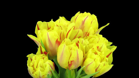 Time-lapse of opening yellow-red tulips in a vase in RGB + ALPHA matte format Footage