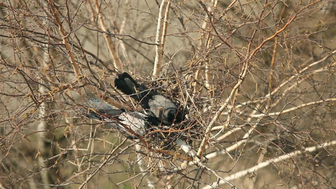 crows nest in the tree Footage