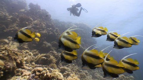 A flock of sea bannerfish fish Footage