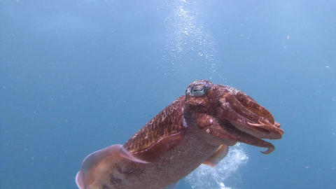 Gentle and temperamental Pharaoh cuttlefish mating dance Footage