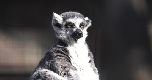 a funny fluffy lemur basking in the sun and sniffs at the smells Footage