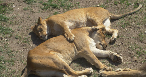 Funny lionesses in rest on ground Footage