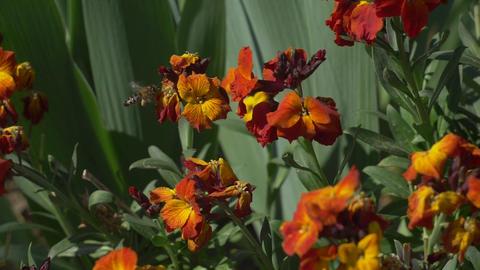 Bee flying near dark orange flower, Live Action