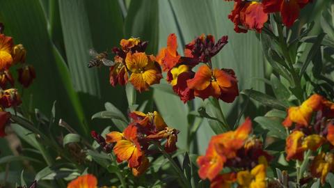 Bee flying near dark orange flower Footage
