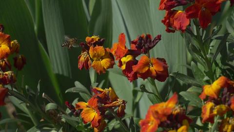 Bee flying near dark orange flower Stock Video Footage