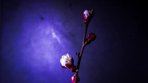 Slow opening petals of the cherry tree on branch Footage