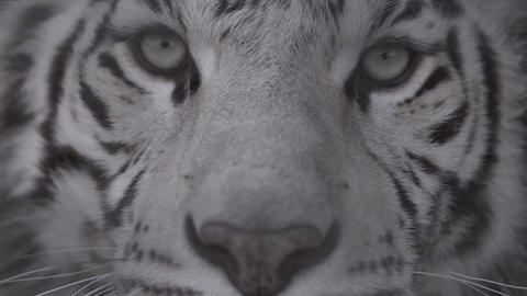 Muzzle of white tiger looking at you Eyes of the predator Live Action