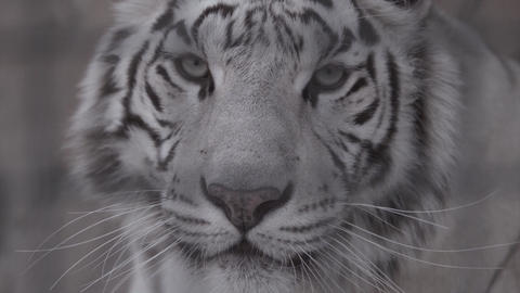 Muzzle of white tiger looking at you Live Action