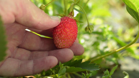 Human hand showing strawberry on the bush in the garden Footage