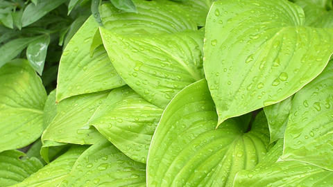 Beautiful green leaves of hosta with rain drops Footage