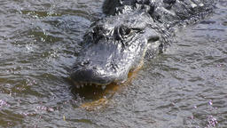 alligator fishing in flowing water Footage
