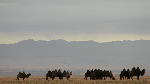 Herd of camels graze in the Gobi steppe in Mongolia Footage