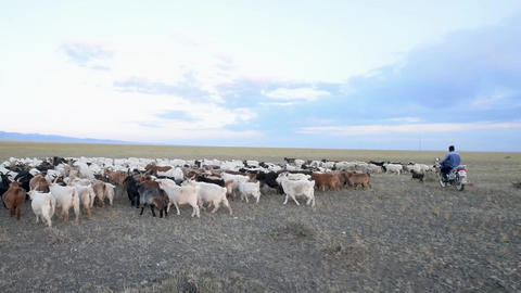 A sheperd herds a large group of sheeps in the steppe of Mongolia Footage