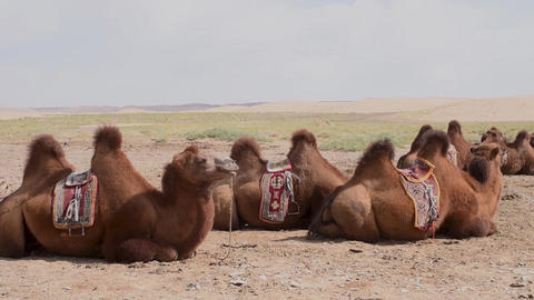 A herd of saddled camels rest down in the Gobi desert in Mongolia Footage