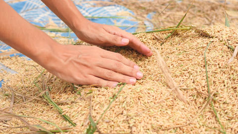 Farmer Woman Holding Handful of Organic Rice at Harvest on Paddy Field. Bali Footage