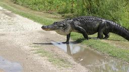 large alligator crossing road Footage