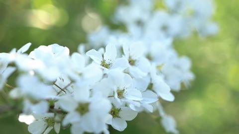 Hydrangea flower spring 4K Live Action