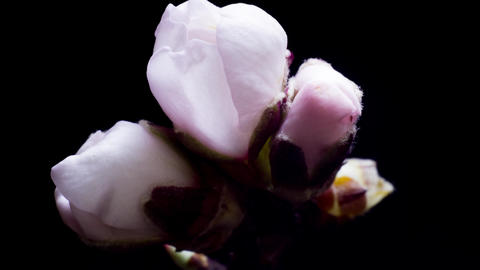 almond blossom white flowers opens its petals Stock Video Footage