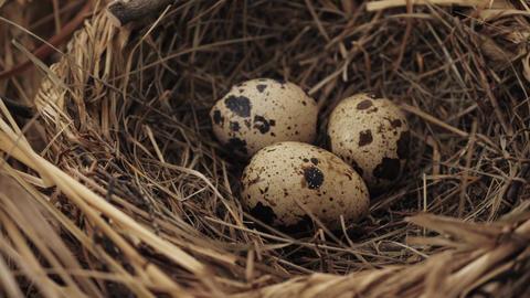 Three bird eggs inside nest Live Action