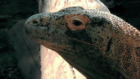 Close up shot of a Komodo Dragon Footage