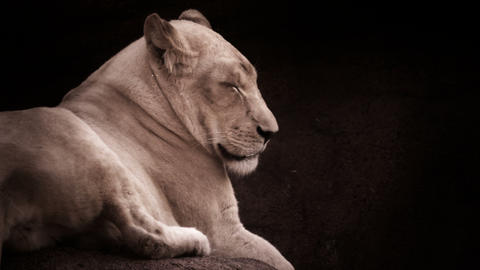 Lioness posing in a dramatic lighting Footage