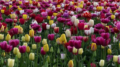Tulips GIF