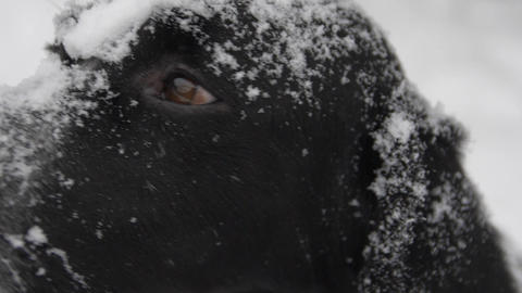 Dog muzzle in snow looks at you Footage