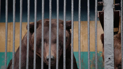 Brown Bear In Captivity On Hot Summer Day. Animal In Zoo Cage Footage