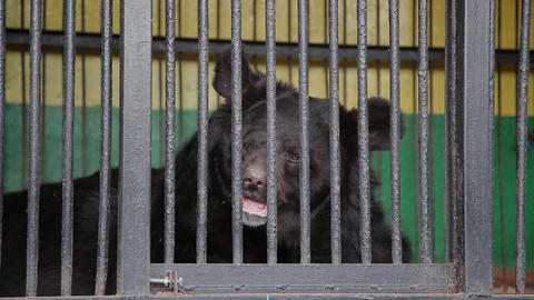 Brown Bear In Captivity On Hot Summer Day. Animal In Zoo Cage Live Action