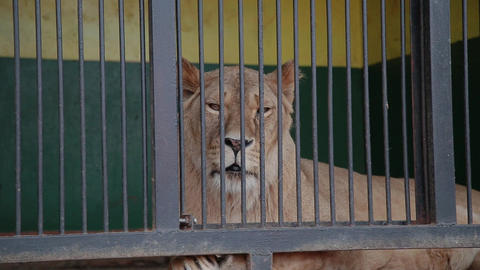 Lioness with a lion in a cage. A lioness looks at you, a lion turns away lie in Live Action