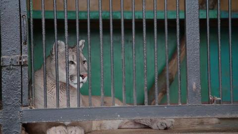 The cougar, puma Puma concolor in a cage Footage