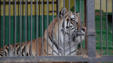 Amur tigers in a cage, feeding tigers Live Action