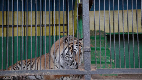 Amur tigers in a cage, feeding tigers Footage