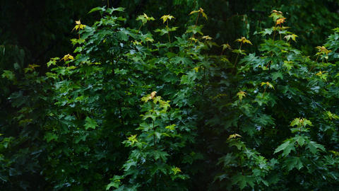 View of the green leaves of the trees in the rain Footage